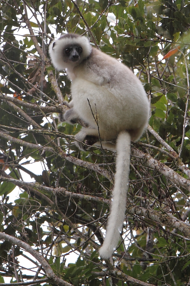 The rarest of lemurs, the Silky Sifaka