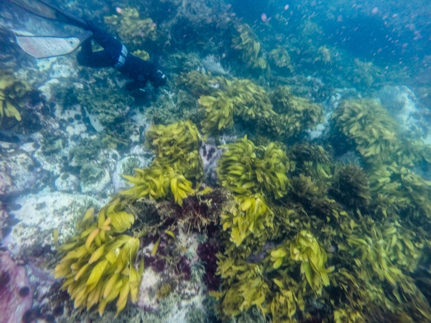 A diver works the reef collecting kina